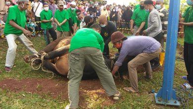 Photo of Daging Sapi Bantuan Presiden Dibagikan Untuk 850 Warga Bintan